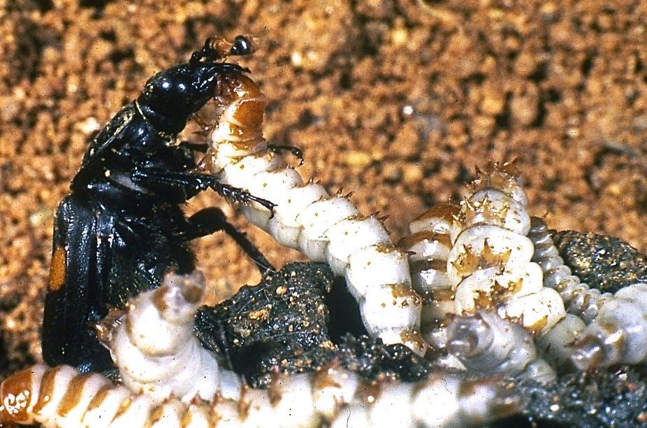 Kumbang Memanipulasi Informasi Dari Bakteri Dalam Bangkai
