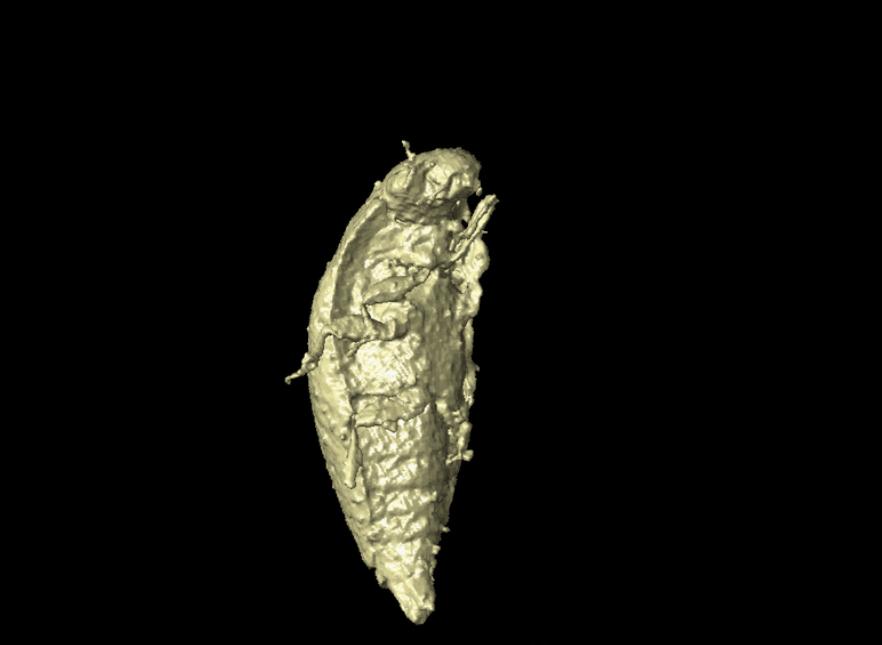 Spesies Baru Kumbang Ditemukan Berusia 230 Juta Tahun